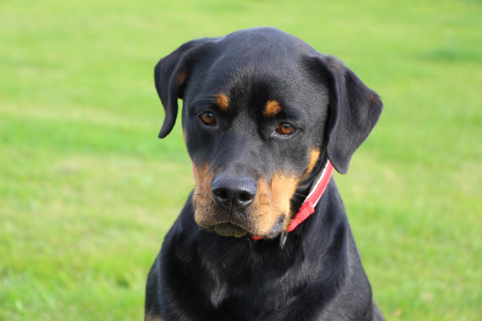 """The RSPCA has launched a special fundraising appeal to pay for emergency surgery for Paris, a rottweiler who has been living in """"excruciating pain"""" for most of her short life. Tags: appeal charity fundraising help Rottweiler RSPCA"""