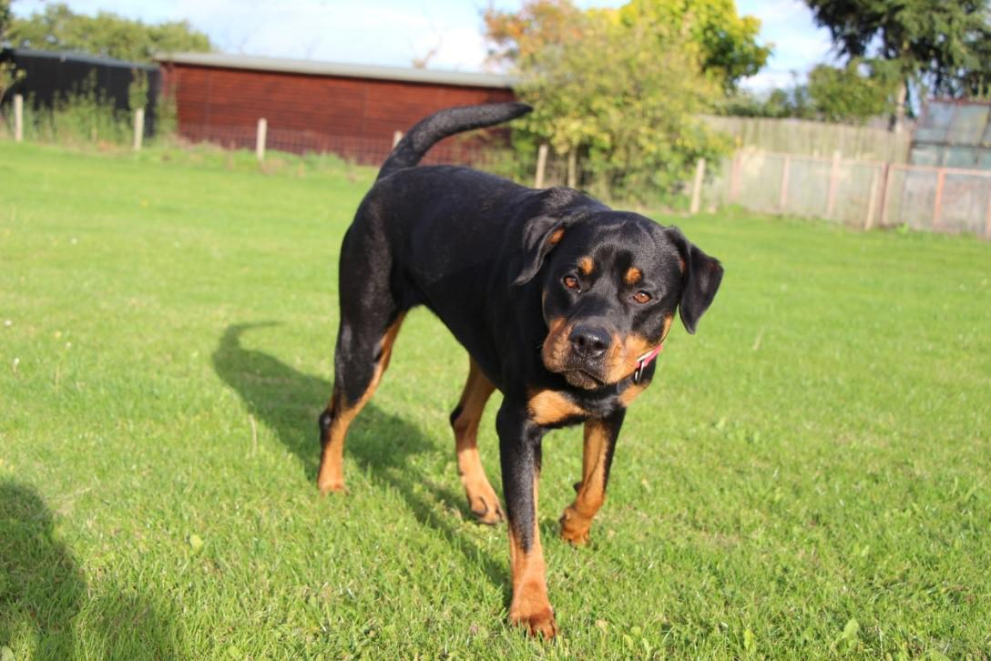 "The RSPCA has launched a special fundraising appeal to pay for emergency surgery for a rottweiler who has been living in ""excruciating pain"" for most of her short life. Tags: appeal charity fundraiser help Rottweiler RSPCA surgery"