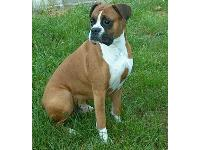 Dogs name: GeorgeOwners Name: Don and Amanda ManiagoBoxers are the sweetest natured dogs, and George is the cuddliest of all. He thinks he is a lap dog LOL