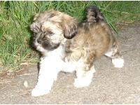 Dogs name: AquillaOwners Name: anon N.IreThis is my Lhasa Apso pup aged 8wks