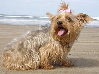 Dogs name: ChloeOwners Name: anon N.IreThis is my Yorkshire Terrier aged 5