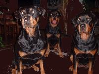 Dogs name: zimba, wanda  % panchoOwners Name: rene torashthe best dog-breed in the whole world. la raza mas maravillosa del mundo.