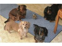 Dogs name: Louie, Leo, Riley, and MarleyOwners Name: These are my 4 LH mini dachshunds, my pride and joys:))