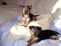 Dogs name: Toby and BobbyOwners Name: Our wee boys aged 10 weeks old.