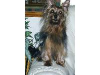Dogs name: charley (female}Owners Name: mandythis is charley my female yorkie, full of life full of love, always by my side, in the past has had 12 pups, all the owners keep in touch, and we have family reunions, its great , we are all friends, and the dogs love it when they are all together.