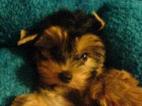 Dogs name: GiggleOwners Name: My 10 weeks old Yorkie