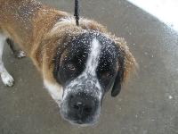 Dogs name: SanchoOwners Name: Stephanie MarxHere's Sancho in his natural element... Snow!