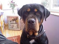 Dogs name: ozzy watsonOwners Name: dannny watsonnice rotty ever put him on the web