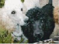 Dogs name: Waymaker PoodlesOwners Name: Members of the family.