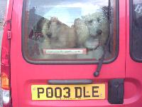 Dogs name: Waymaker PoodlesOwners Name: Have you seen this number plate?