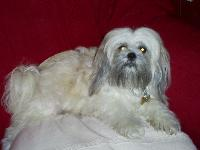 Dogs name: izzyOwners Name: trcythis is my gorgeous lhasa apso,who has just given birth to her second litter of pups.
