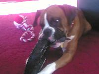 Dogs name: BenOwners Name: SherylBen is the most loveable boxer dog ever !  He loves to play and he loves to snuggle up and be part of the family :o)