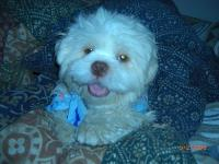 Dogs Name: BobbyOwners Name: JenniferHe is a 2yr old bundle of sweet sweet joy. He is so sweet and playful...