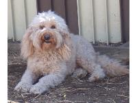 Dogs name: Tegan Park Bright SparkOwners Name: Barbie Herlth/landmarklabradoodles.comSparky is an Australian Labradoodle who originated from Tegan Park in Australia.