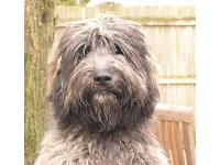 Dogs name: Westwood's Little BearOwners Name: Helene RoussiBear is a brindle second generation Labradoodle; his mom was an F1 Labradoodle and his dad was a Poodle.  He is smart, fuzzy, sweetheart of a dog!