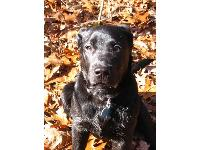 Dogs name: GusOwners Name: Last of my dog-sitting and dog-walking pictures.  Gus is a purebred black labrador puppy, even though he does look a bit like a crossbreed.  He's an earnest, good boy who wants to please but is so stubborn!