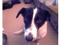 Dogs name: patchOwners Name: lia bucklershe is the best dog i ever had