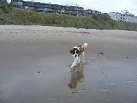 Doc's first trip to the beach at 1 year old. When my best friend got her St. Bernard three years ago I thought she was nuts but very shortly fell in love with him, and when she decided to breed him with a local female I decided to take pick of the litter. Two years later I can't imagine life without one of these monsters in my life, drool and shedding aside, he brightens each and every day.