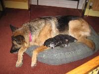 Heidi, GSD, six and a half, makes a nice safe place for Jazz, toy poodle, three months, to suggle up to for a quiet snooze.