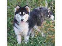 75% Alaskan Malamute 25% Siberian Husky, 2 year old male 105lbs