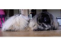 Delby is a gorgeous young Peke.