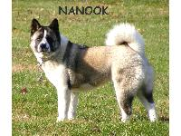 Nanook is a Full Bred Akita.  She's 4 yrs old.  She's a miracle dog because she got kennel cough at 10 weeks old, 2 weeks after we bought her.  The vets all said she would die because it turned to pneumonia and she was very sick.  I brought her back home and spent weeks giving her alot of love, anitbiotics, etc. and as you can see she's very happy and healthy! She goes EVERYWHERE with me and has since day one!