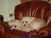 Megan & Bryony relaxing at home. They are mustard Dandie Dinmont Terriers. http://www.flickr.com/photos/mishahda_dandie_dinmont_terriers/