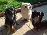 My three Shih Tzu/Chihuahua cross dogs . From left to right , Roly (son) , Dillon (Dad) & Bonnie (Mum)