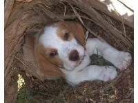 This is our beagle; Boston when he was a puppy. He is twelve months old now (so still a puppy) but still as cute as ever...and very VERY spoilt! We are expecting our first baby...so I am a little concerned he may get his nose out of joint once it arrives...