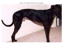 "LOST GREYHOUND ""NODDY"" BLACK MALE- MAY BE INJURED LOST 12/26 ON I-10 Marker 19 from Auto Accident –	No Collar – has ear tattoos – age 9 ANY ASSISTANCE IN THE SEARCH IS GREATLY NEEDED AND APPRECIATED •May seek shelter around buildings or in open sheds, barns, or garages. PLEASE CHECK YOURS! • A lost greyhound may avoid people or become frightened when approached. PLEASE DO NOT CHASE! IF SEEN PLEASE CALL: 480 227 0951"