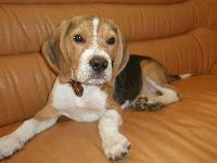 Maxwell is my beagle. He's rogue, funny and very independent. He was born in 2008. This is my 1st dog...