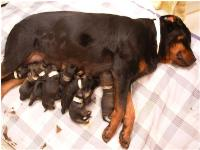Rescue Rotties treated by Nancy Kay.