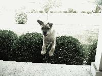 Scruffy outside playing!