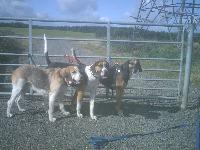 my pet foxhounds, daisy dawson and penny
