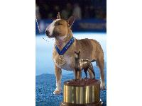 RENOWNED CHAMPION RUFUS, THE COLORED BULL TERRIER, NAMED NATIONAL DOG SHOW CANINE AMBASSADOR