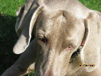 satine is the best weimaraner that lives(my opinion) i love her and juyst taught her a new trick, she can hi-five know