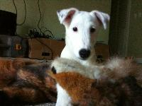otto my smooth fox terrier :-)