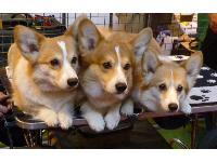 Three beautiful Corgis pose for pictures.
