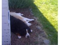 Mikah.............Siberian Husky 13 yrs old and his buddy Lucky (Bernese Mountain Dog) 4 yrs old .................it was a hot day
