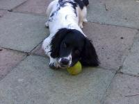 my poppy the english springer , she just loves a ball