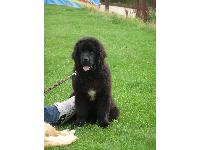 A cute Newfie puppy.