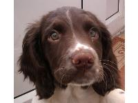My English Springer Spaniel puppy Dax, 10 weeks old and absolutely adorable. but can anyone tell me if he looks 100% spaniel because people have suggested he may not be??