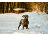 my weimaraner satine playing in the snow