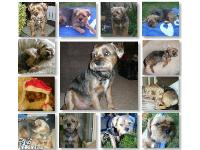 My Border Terrier Terrier - Tug, The best dog ever - RIP - Miss him loads xxx