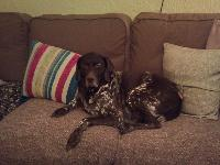 My moaning German Pointer, Peter!