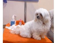 This little Maltese dog was so cute! In Discover Dogs at Crufts 2011.