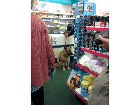 Here's a sight you don't often see - a dog in a chemist shop.
