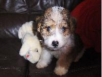 Our jack russell has curly hair too we haven't seen another jack russell with curly hair until now either their very cute.