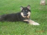 Here's Marlee, our rare, black and tan, wooly coated 5 month old female.