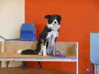 Lovely Border Collie Zoe practises the benching scene for the Safe and Sound Team display for Crufts 2012.
